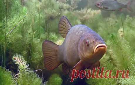 Эта рыба доктор водоемов. Перепутать линя с другими рыбами практически невозможно.   Рыбалка 63   Яндекс Дзен
