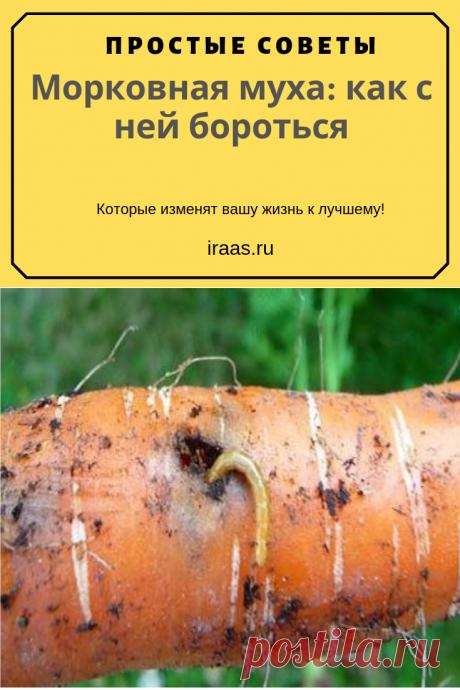 Морковная муха – опасный вредитель. Некоторые жуки и бабочки подгрызают листья или плоды, но вредители, предпочитающие морковь, питаются всеми частями растения. Ещё один неприятный момент – зимовка насекомых внутри корнеплодов. Если личинки не успели окуклиться, они остаются внутри морковки, подготовленной к закладке на хранение. При потеплении из яиц появляются личинки, портят урожай, прогрызают ходы в мякоти. #морковь #морковная #муха #вредители #садовник #сад #огород