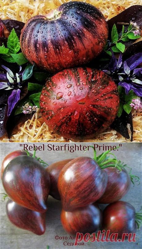 Фантастические томаты   Дачная Коллекция