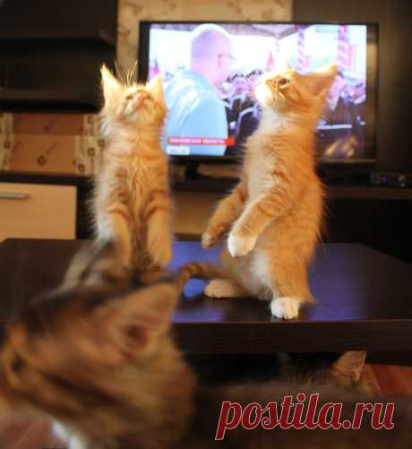 Танцы на столе. Котята мейн-кун.