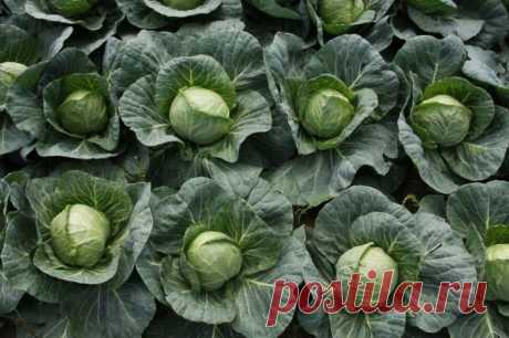 Cabbage grades for borsch and for salting the White beauty can be met today practically on any kitchen garden, but not each summer resident knows that under each climatic zone and the soil the versions approach. Gardeners brag a per...