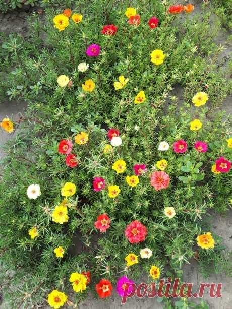 Что посадить поверх тюльпанов
