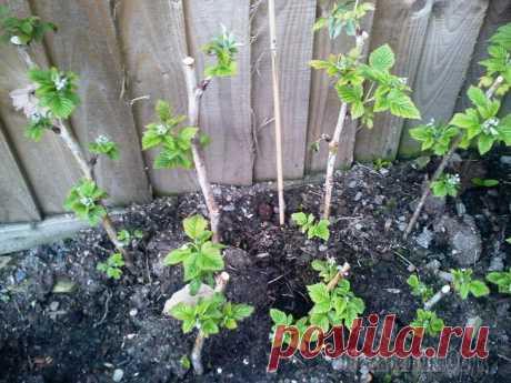 Посадка малины весной — советы для новичков