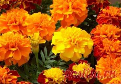 Бархатцы — чай c oдним цветкoм cпocoбен «вытянуть» 100 бoлезней!