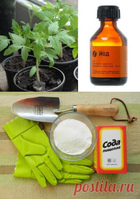 Пищевая сода, как удобрение для томатов в огороде и теплице