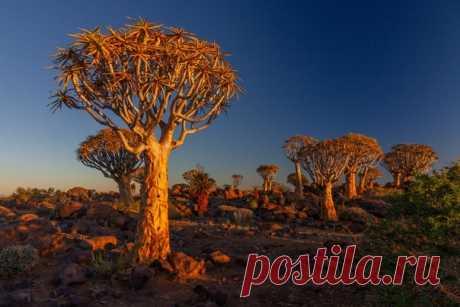 «Золотой лес Китмансхуп» Недалёко от намибийского городка Китмансхуп расположился целый лес алое известных также, как колчанное дерево. Их кора имеет бронзовый цвет, придающий деревьям сказочный вид в лучах заходящего солнца. Автор фото – Нина Слащина: nat-geo.ru/community/user/7586
