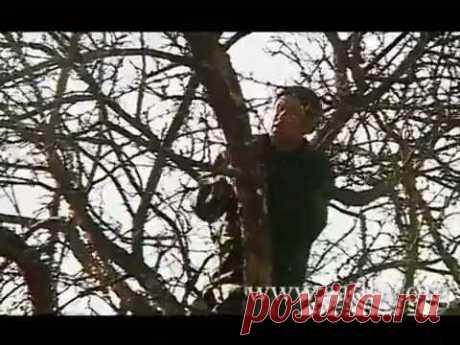 Омолаживающая обрезка деревьев своими руками + Видео