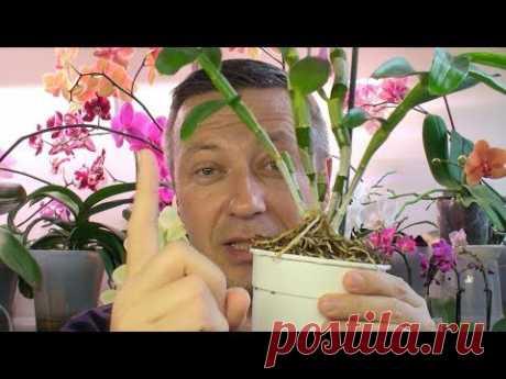 НЕ УБИВАЕМАЯ ОРХИДЕЯ / посадка и полив орхидей по индийски