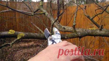 Обрезка плодовых деревьев: назначение, сроки и способы