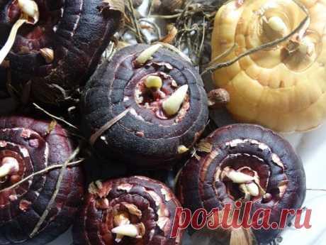 Как подготовить луковицы гладиолусов к посадке весной | Блоги о даче и огороде, рецептах, красоте и правильном питании, рыбалке, ремонте и интерьере