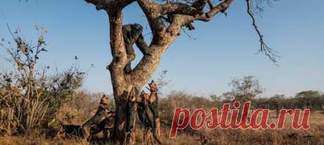 За год гончие из Техаса помогли на 24 процента снизить количество убитых носорогов в африканском нацпарке (и на 54 процента увеличить число арестов браконьеров).