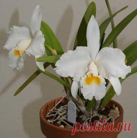 Каттлея – многолетнее цветущее ароматное тропическое растение