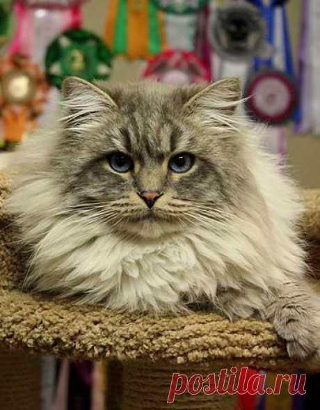 Невский маскарадный кот Белый Тигр, или просто Санек. Он достиг титула Европейский Чемпион, завоевал множество наград на выставках.
