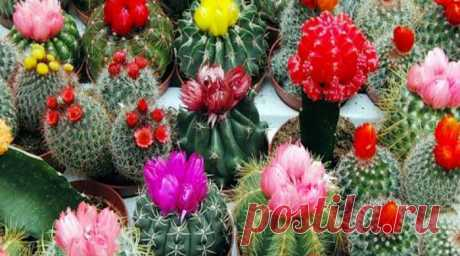 Как ухаживать за кактусом в горшке в домашних условиях Уход за кактусом в домашних условиях для начинающих. Что нужно сделать с кактусом при покупке зимой, весной. Как ухаживать,чтобы выросли цветы. Как поливать