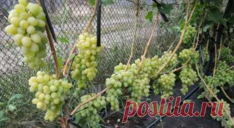 ЕЩЕ РАЗ О ПОЛИВАХ ВИНОГРАДА  Поливы и их совмещение с подкормками дают очень высокие результаты на  кустах винограда. Некоторые садоводы его вообще не поливают,  в результате получают изреженные грозди, слабые приросты,  неудовл…