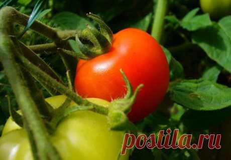Когда сажать рассаду помидоров в открытый грунт в 2018 году по Лунному календарю 🚩 Сад и огород