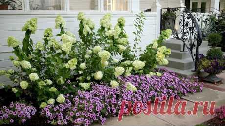5 вариантов что посадить рядом с гортензией, чтобы не переборщить и не испортить цветник   посуДАЧИм об огороде   Яндекс Дзен