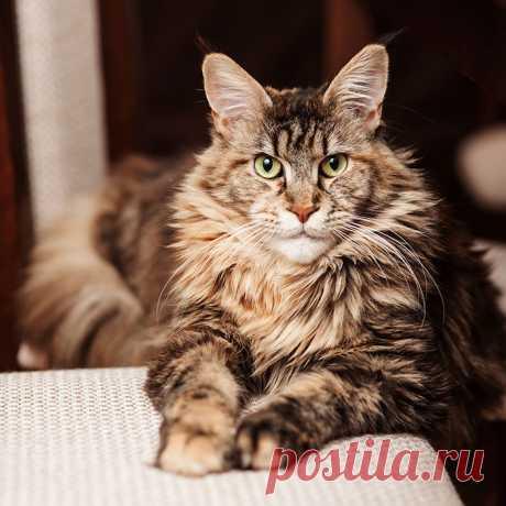 Мейн-кун- фото, описание, характер, отзывы   GoCats.ru