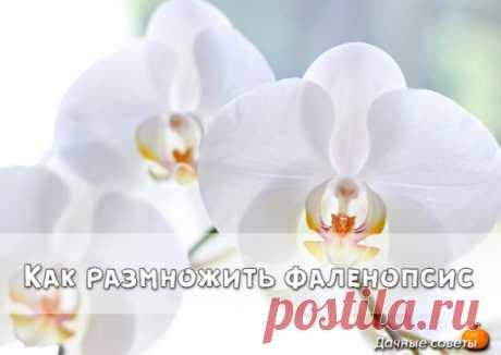 Как размножать орхидею фаленопсис Размножить фаленопсис получится лишь в том случае, если она здорова, а также получает необходимые питательные вещества, достаточное количество света и влаги.  Отличительной особенностью фаленопсисов является то, что этот вид орхидеи не имеет псевдобульб, отвечающих за накопление питательных веществ. И если некоторые орхидеи с псевдобульбами успешно размножаются делением корневища, то для фаленопсисов такой способ неприемлем. В естественной среде фаленоп