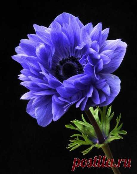 Garden Anemone by susangir