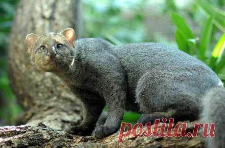 Ягуарунди — кошка, похожая сразу на нескольких животных, обитающая в лесах Латинской Америки #Видео