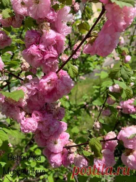 La sakura