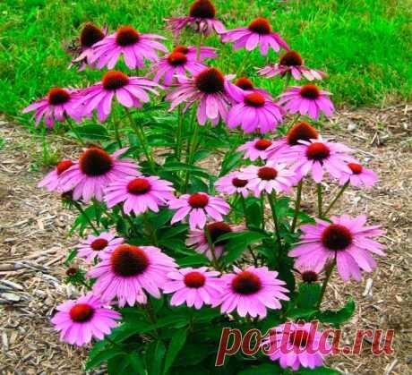 Эхинацея: посадка и уход в открытом грунте, выращивание из семян
