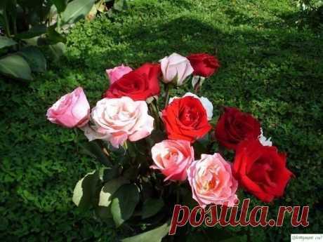 El medio fenomenal para la defensa de las rosas de la herrumbre, el rocío harinoso y pyatnistosti