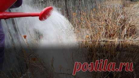 Зачем поливают кустарники кипятком?   Блоги о даче и огороде, рецептах, красоте и правильном питании, рыбалке, ремонте и интерьере