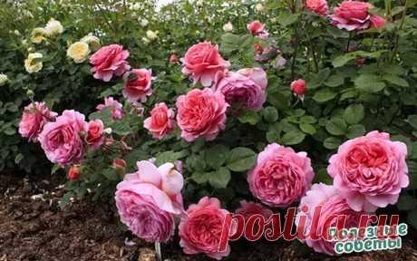 Ошибки в выращивании роз на даче