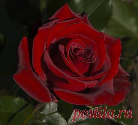 tasha7 — «Бордовая роза, любимый цветок, бесспорно цветов всех прекрасней...» на Яндекс.Фотках