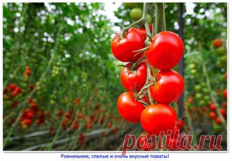 Отдыхали в Абхазии и посмотрели, как тут выращивают томаты. Рассказываю, почему Абхазские томаты все ровненькие и очень вкусные   Это интересно (но не всем)   Яндекс Дзен