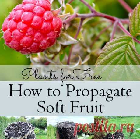 Как Размножьтесь ягодные - Lovely Greens