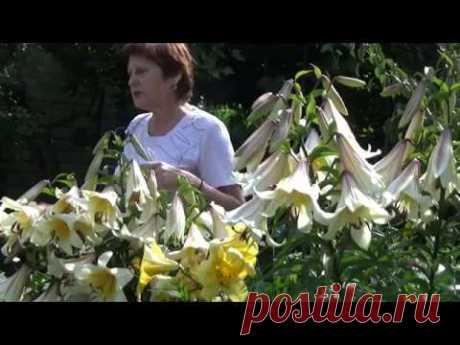 Лилии ТРУБЧАТЫЕ - роскошь цвета и аромата - YouTube