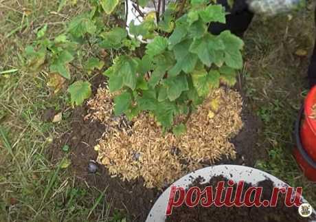 Правильный уход за черной смородиной осенью, а также оригинальная подкормка помогают мне вырастить ягоды размером с вишню   Секреты бывалого дачника   Яндекс Дзен