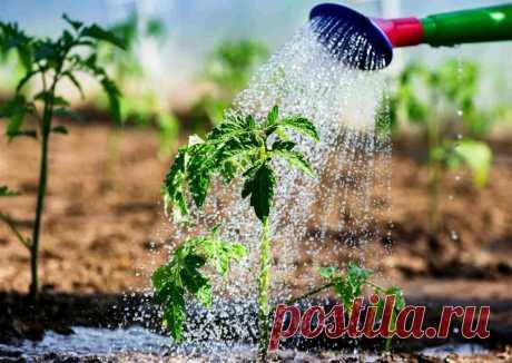 Секреты успешного полива на даче Когда и как правильно поливать растения в саду и огороде? Можно ли как-то упростить этот процесс? Давайте разбираться! Как правильно поливать огород Недостаток воды для большинства овощей гораздо хуже