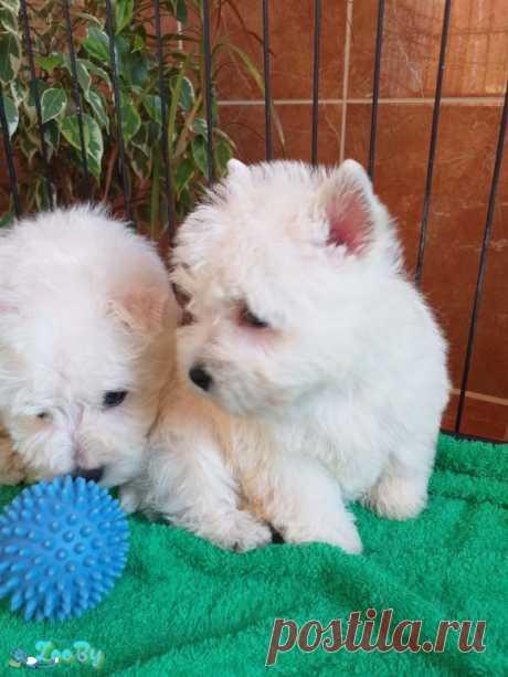 Вест хайленд уайт терьер щенки купить в Минске на сайте объявлений