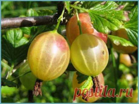 El grosellero – uva norte: la plantación y la partida