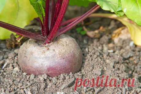 Как свекла может помочь вырастить богатый урожай помидоров | Огородные шпаргалки | Яндекс Дзен