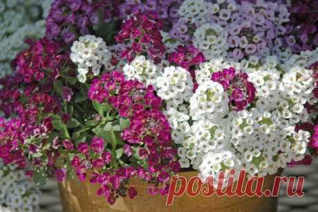 Комнатный алиссум — «подушки» цветов и медовый аромат. Уход в домашних условиях. Фото — Ботаничка.ru