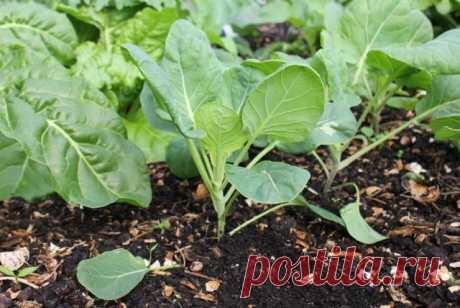 Почва для капусты - как выбирать место для посадки капусты Место и почва для капусты – вот, пожалуй, самые важные пункты, которые обязательно необходимо учитывать при посадке, какая должна быть почва, читайте далее