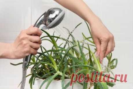 Зачем купать цветы под горячим душем Думаете, цветы не нуждаются в купании? Ошибаетесь! Им, как и людям, нужны водные процедуры и даже горячий душ. Купание в горячей воде помогает растению быстро выйти из стресса, стимулирует его возможности, подталкивает к росту и цветению, а также предупреждает опадение старых листьев и...