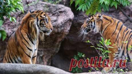 Обои тигры, скалы, скачать обои, фото и картинки бесплатно
