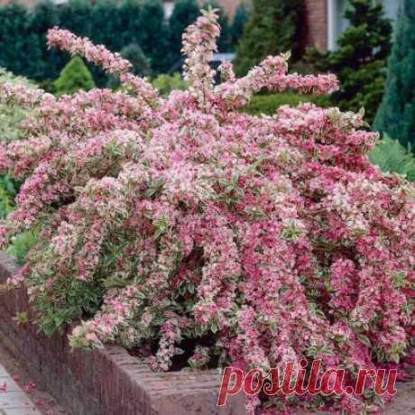 Посадите этот раскидистый цветок в середине участка. Вейгела цветёт дважды за лето и потому будет дарить вам красоту в течение всего летнего сезона.