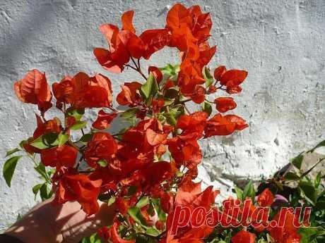 Australian Pink Красный гигант. Прицветник очень яркий и крупный.