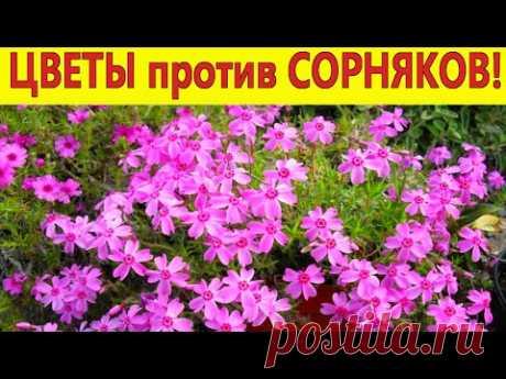 Топ-7 цветов против сорняков! Посадите эти цветы, они вытеснят сорняки на клумбах и цветниках в саду