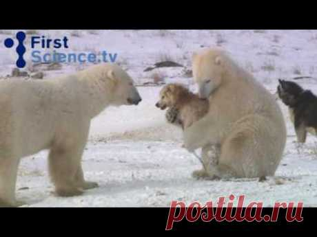 Polar bears and dogs playing - YouTube