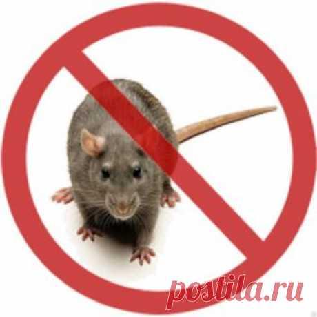 Мыши в доме: Список чего бояться и как от них избавиться? Советы +Фото и Видео