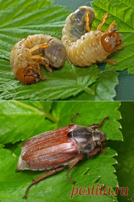 Личинки майского жука: вред или польза