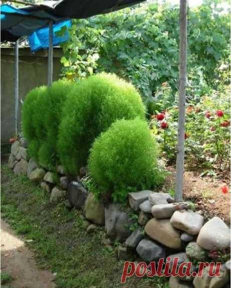 Красавица Кохия украсит любой сад! Она любит удобренную жирную лёгкую почву, например соломистый перегной